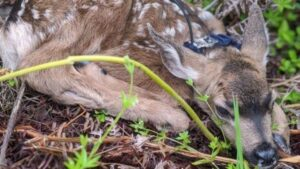 A fawn with a radio collar