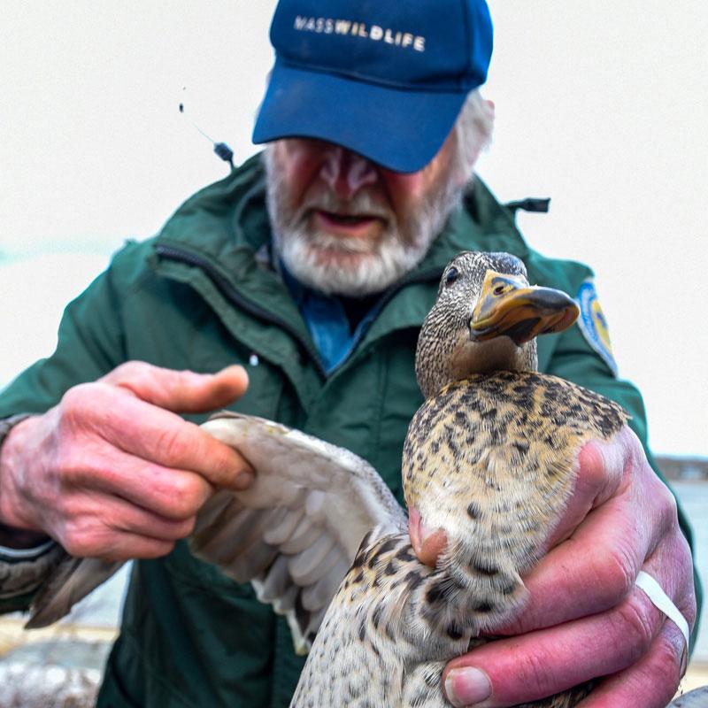 A MassWildlife biologist holding a duck