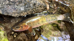 A trout in shallow water