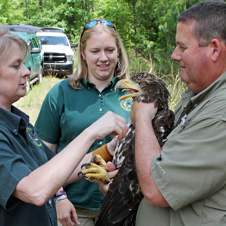 Wildlife biologists in Alabama with a Bald Eagle