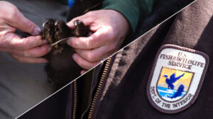 Person examining bear paw and the Fish and Wildlife Service Logo