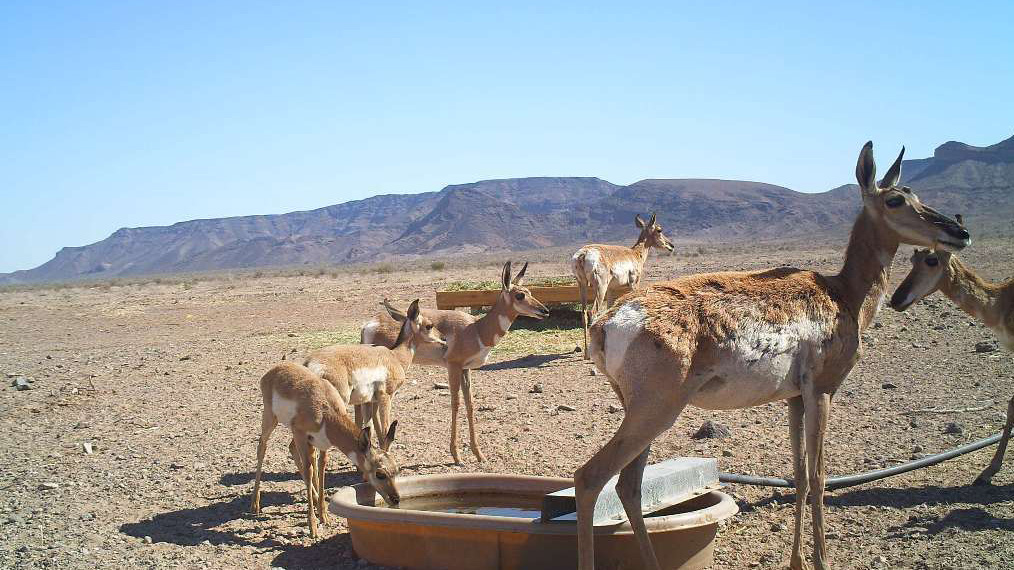 Pronghorn antelope at a water catchment in the desert